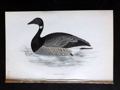 Morris 1860's Antique Bird Print. Brent Goose